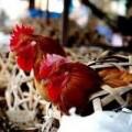 Cảnh báo ở mức cao cúm gia cầm H7N9 xâm nhập VN