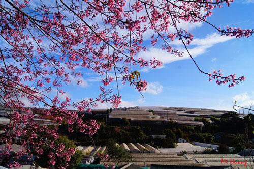 Mùa xuân về với mai anh đào Đà Lạt - 10