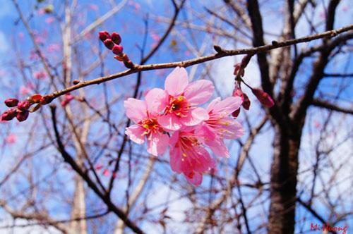 Mùa xuân về với mai anh đào Đà Lạt - 1