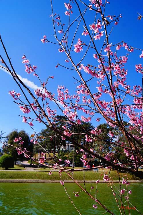 Mùa xuân về với mai anh đào Đà Lạt - 2