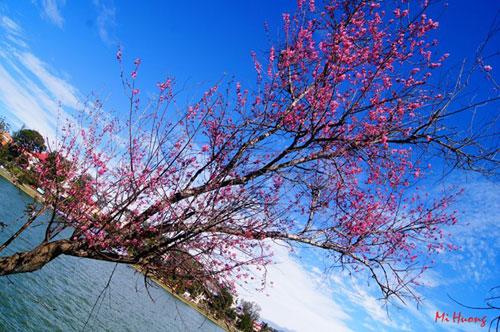 Mùa xuân về với mai anh đào Đà Lạt - 3