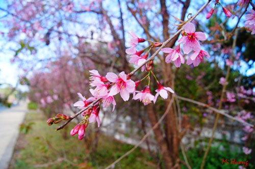 Mùa xuân về với mai anh đào Đà Lạt - 5