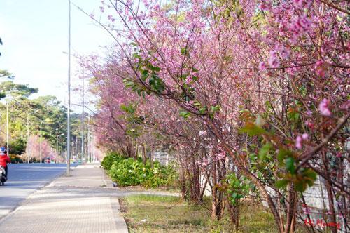 Mùa xuân về với mai anh đào Đà Lạt - 6
