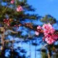 Xem & Đọc - Mùa xuân về với mai anh đào Đà Lạt