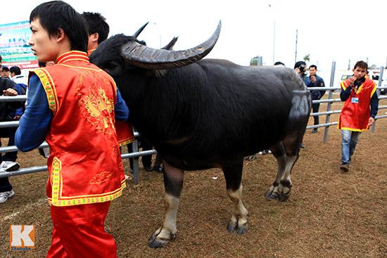 Đội mưa xem lễ hội chọi trâu đầu tiên tại Hà Nội-6