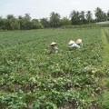 Mua sắm - Giá cả - Người trồng khoai lang ngóng thương lái TQ