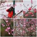 Tin tức - Lên Sapa ngắm hoa mai anh đào khoe sắc