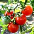 Nhà đẹp - Cách trồng cà chua sạch nên thử ngay