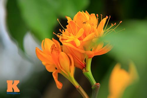 Đến Hà Nội ngắm hoa nhà Phật khoe sắc-5