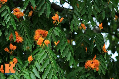 Đến Hà Nội ngắm hoa nhà Phật khoe sắc-4