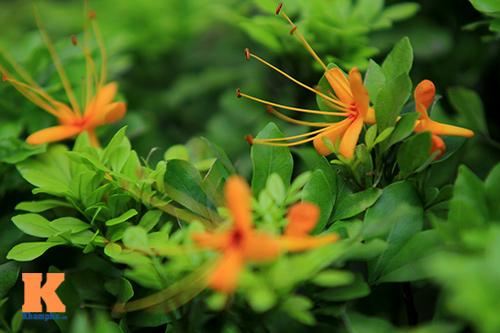 Đến Hà Nội ngắm hoa nhà Phật khoe sắc-11