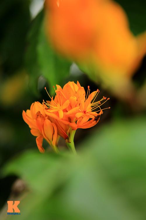 Đến Hà Nội ngắm hoa nhà Phật khoe sắc-10
