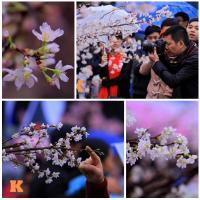 Mục sở thị hoa anh đào của xứ sở Phù Tang