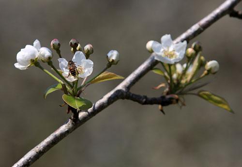 Ngất ngây ngắm hoa đào, mận Sa Pa nở muộn - 3