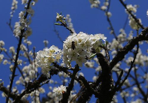 Ngất ngây ngắm hoa đào, mận Sa Pa nở muộn - 4