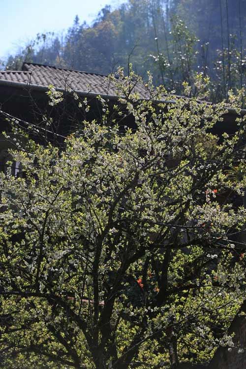Ngất ngây ngắm hoa đào, mận Sa Pa nở muộn - 6
