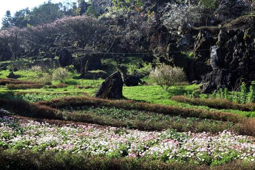 Ngất ngây ngắm hoa đào, mận Sa Pa nở muộn - 8