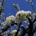 Xem & Đọc - Ngất ngây ngắm hoa đào, mận Sa Pa nở muộn