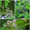 Tin tức - Ngỡ ngàng vẻ đẹp hoa xoan tháng Ba