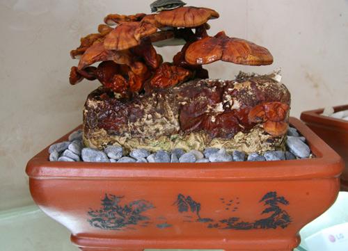 tet nay 'sot xinh xich' nam linh chi do bonsai - 10