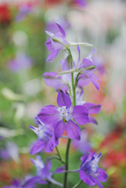 violet thuy chung bao xuan ve - 1