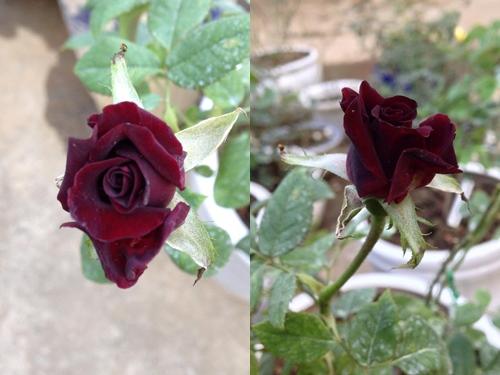 Vườn hồng đẹp như tranh của cô giáo Hà Giang-7