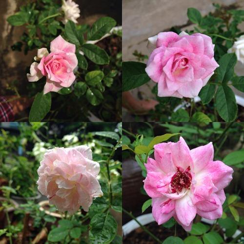 Vườn hồng đẹp như tranh của cô giáo Hà Giang-8
