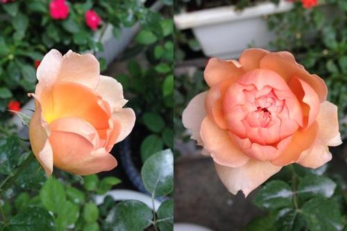 Vườn hồng đẹp như tranh của cô giáo Hà Giang-9