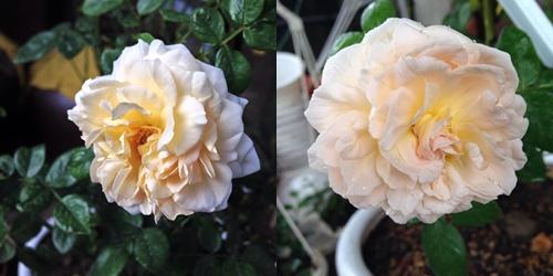 Vườn hồng đẹp như tranh của cô giáo Hà Giang-10