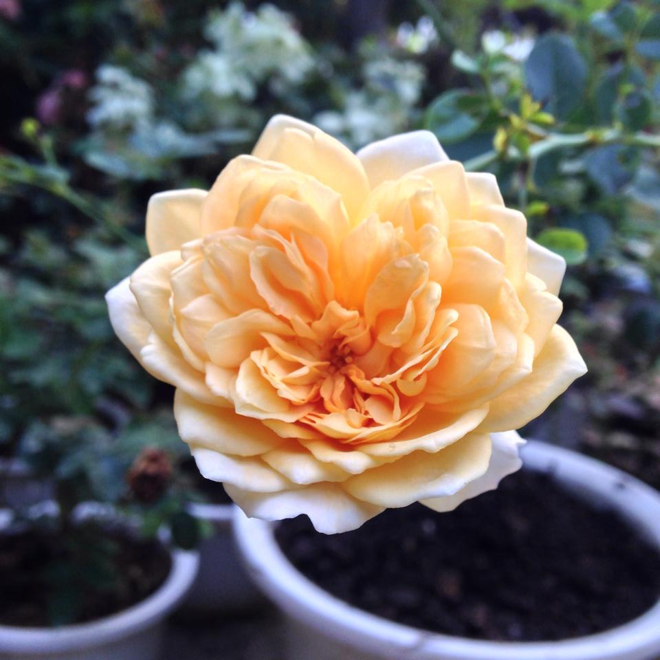 Vườn hồng đẹp như tranh của cô giáo Hà Giang-12