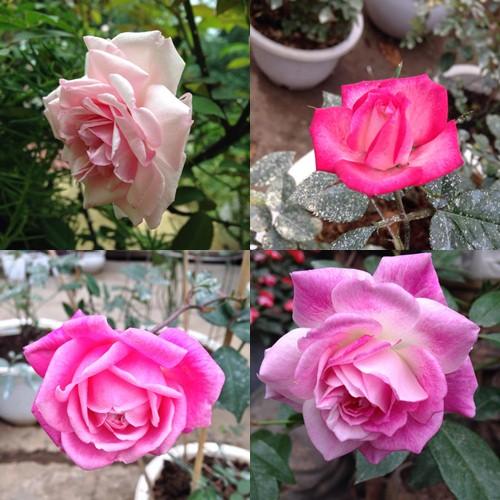 Vườn hồng đẹp như tranh của cô giáo Hà Giang-15