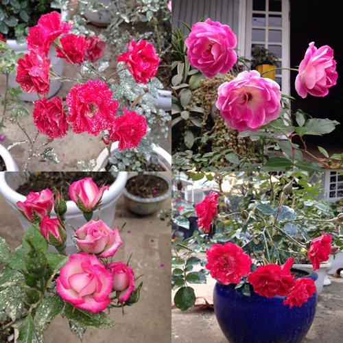 Vườn hồng đẹp như tranh của cô giáo Hà Giang-18