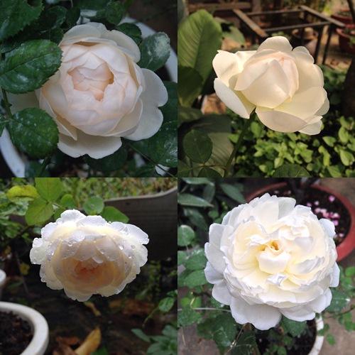 Vườn hồng đẹp như tranh của cô giáo Hà Giang-13