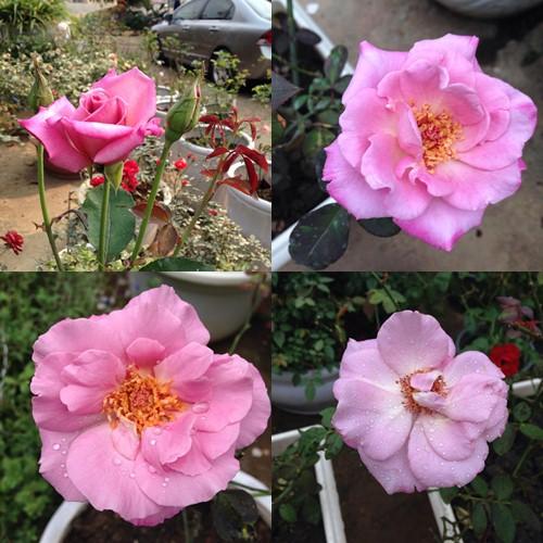 Vườn hồng đẹp như tranh của cô giáo Hà Giang-3