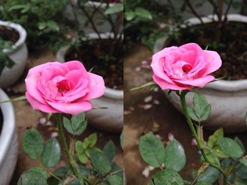 Vườn hồng đẹp như tranh của cô giáo Hà Giang-4