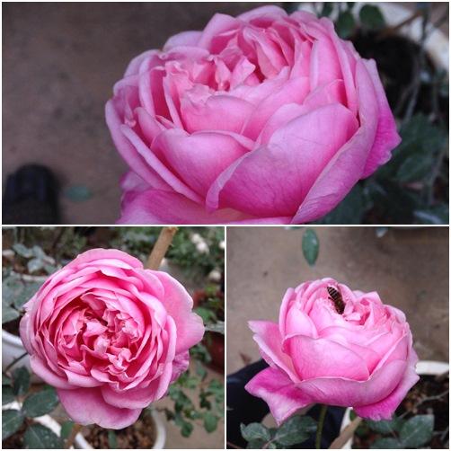 Vườn hồng đẹp như tranh của cô giáo Hà Giang-2
