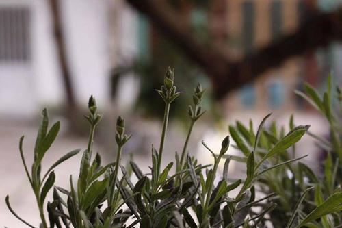 Hoa oải hương sốt xình xịch nhân ngày chị em - 6