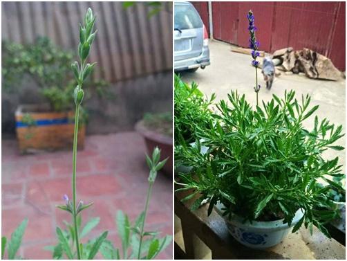 Hoa oải hương sốt xình xịch nhân ngày chị em - 4