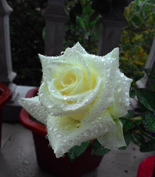vuon hoa ban cong co gai nho trong tang me da khuat - 13