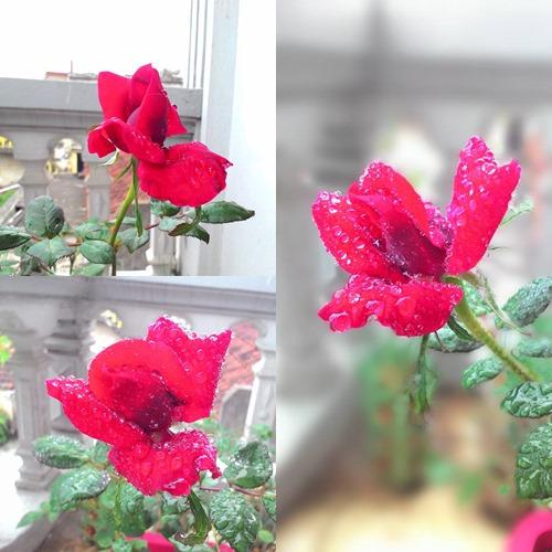 vuon hoa ban cong co gai nho trong tang me da khuat - 5