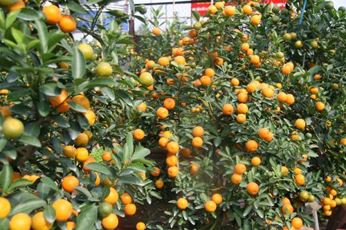 dan sanh choi dua nhau san quat bonsai rong phuong - 5