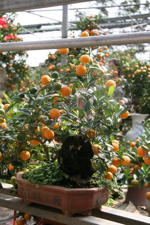 dan sanh choi dua nhau san quat bonsai rong phuong - 6