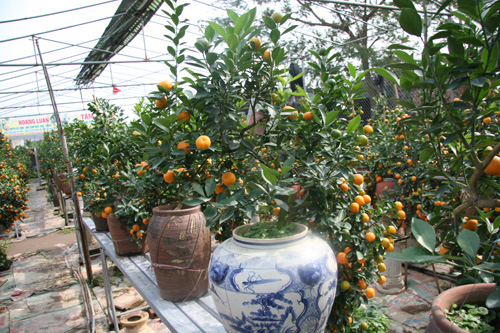 dan sanh choi dua nhau san quat bonsai rong phuong - 13