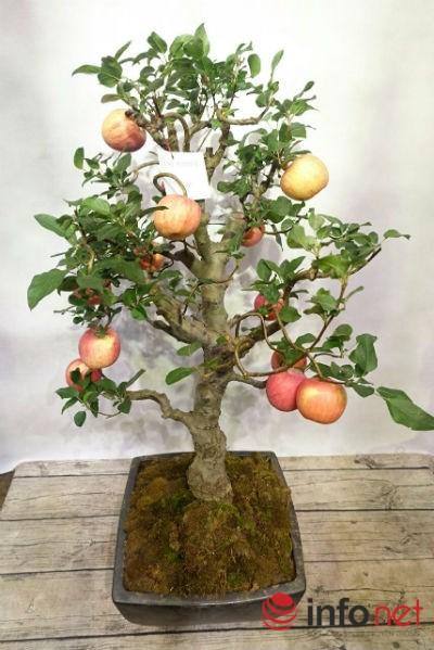 Xuất hiện cây táo cảnh Trung Quốc cực đẹp mắt, không nên ăn, bán chơi Tết-2