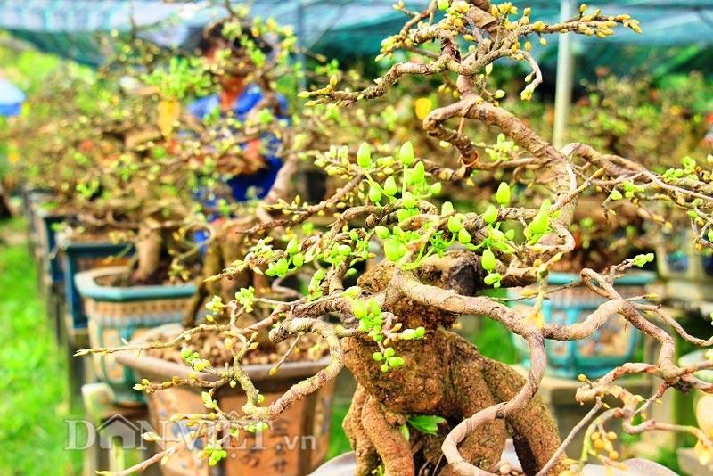 """Mãn nhãn ngắm vẻ đẹp """"hút mắt"""" của gốc mai bonsai Bình Định-1"""