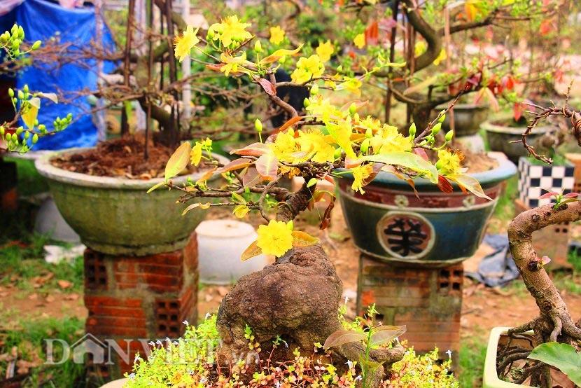 """Mãn nhãn ngắm vẻ đẹp """"hút mắt"""" của gốc mai bonsai Bình Định-10"""