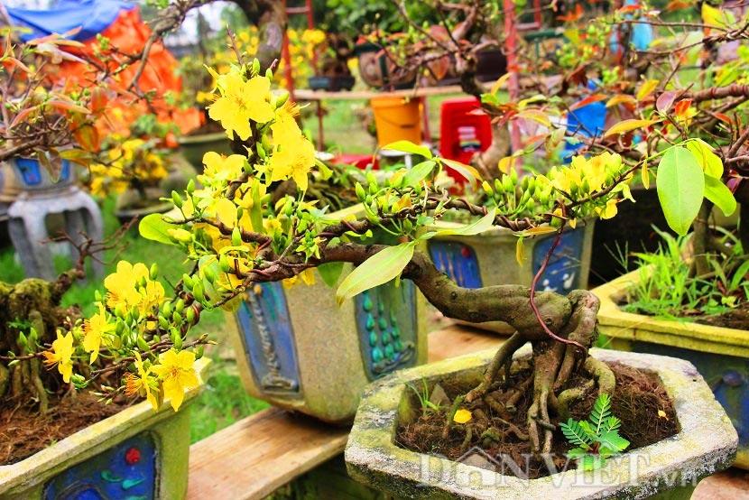 """Mãn nhãn ngắm vẻ đẹp """"hút mắt"""" của gốc mai bonsai Bình Định-7"""