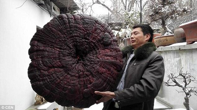 can canh cay nam linh chi nang 4,3kg, to nhu cai o - 1