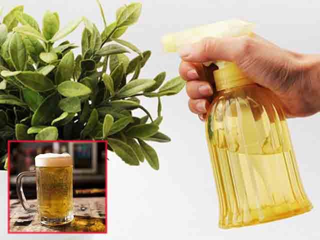 Thực hư việc dùng bia tưới cho cây trồng cho năng suất cao và cây phát triển khỏe mạnh
