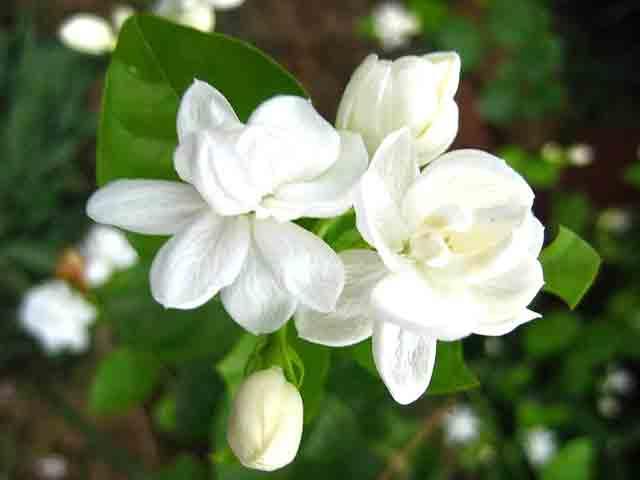 6 loài cây để trong nhà vừa thơm vừa làm sạch không khí ít người biết